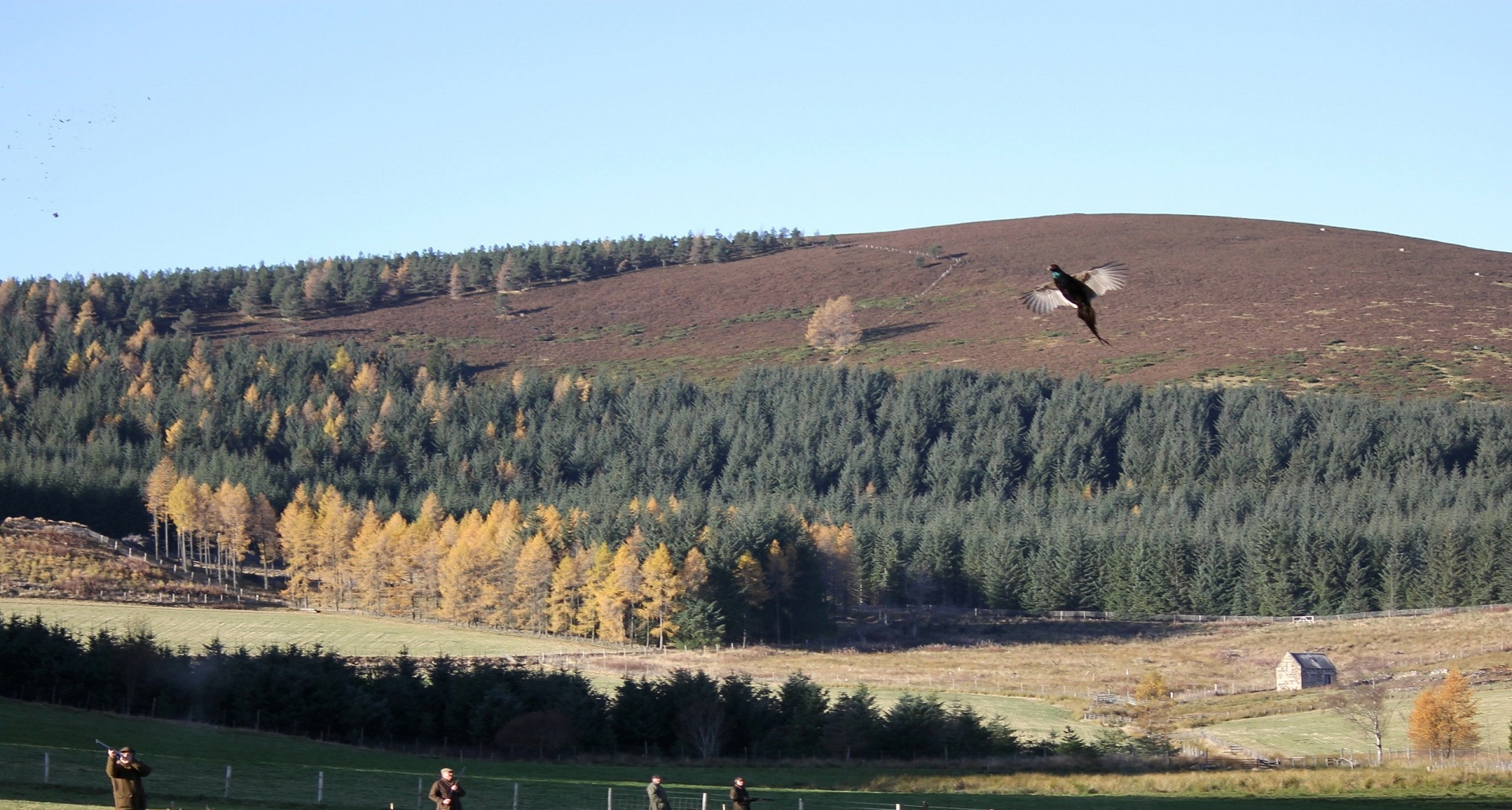High pheasant for Scotsport UK Clients