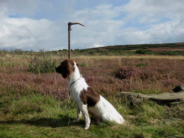 Walked up / Rough Shooting - Springer Spaniel