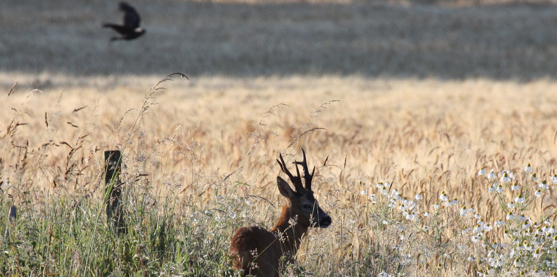 Strong Roe Buck waiting for Scotsport UK Clients
